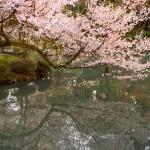 Cherry Blossoms - Fine Art Photogra..
