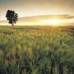 Sunset Barley Field - Fine Art Phot..